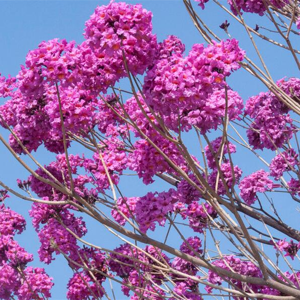 紫花风铃木3.jpg