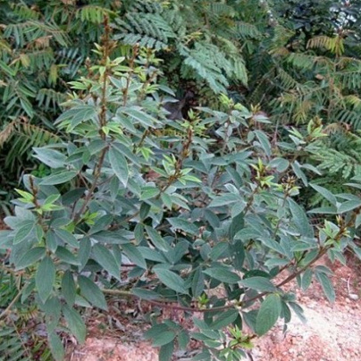 木豆3.jpg