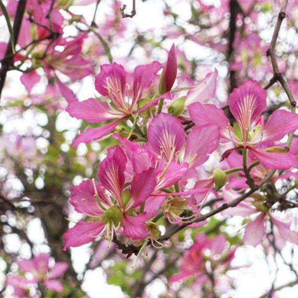 宫粉紫荆苗6.jpg
