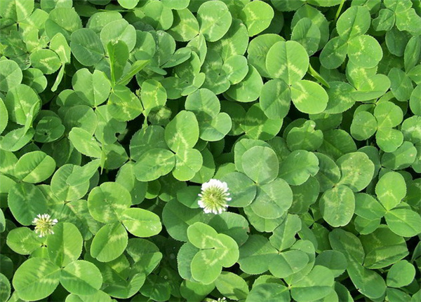 白三叶草籽/Trifolium repens L