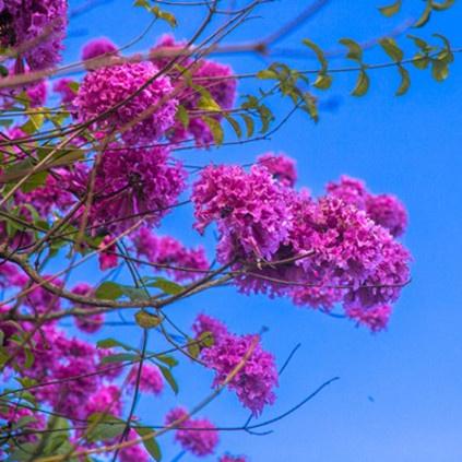 紫花风铃木5.jpg